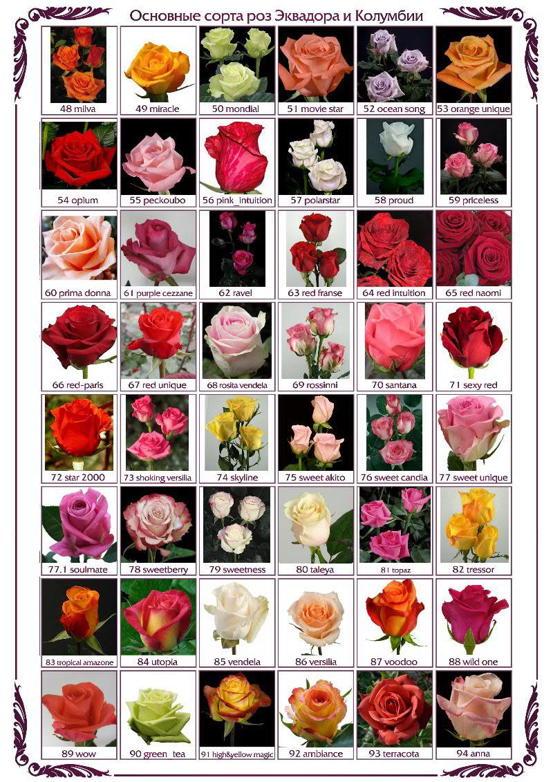сорта роз в картинках с описанием